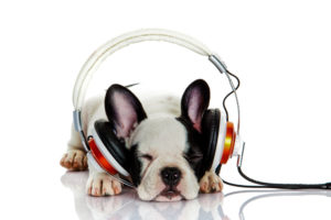 Photograph of French Bulldog sleeping with headphones